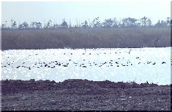 鴨が集まってきています