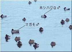 水面に浮かぶたくさんのカモ