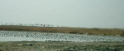 池に大群で残っているカモたち