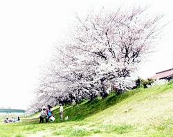 米津橋付近の桜の木