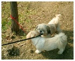 同じシーズ犬を見つけて大喜びのごんちゃん